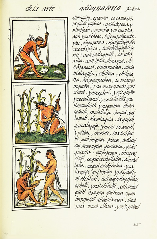Aztecs harvesting maize