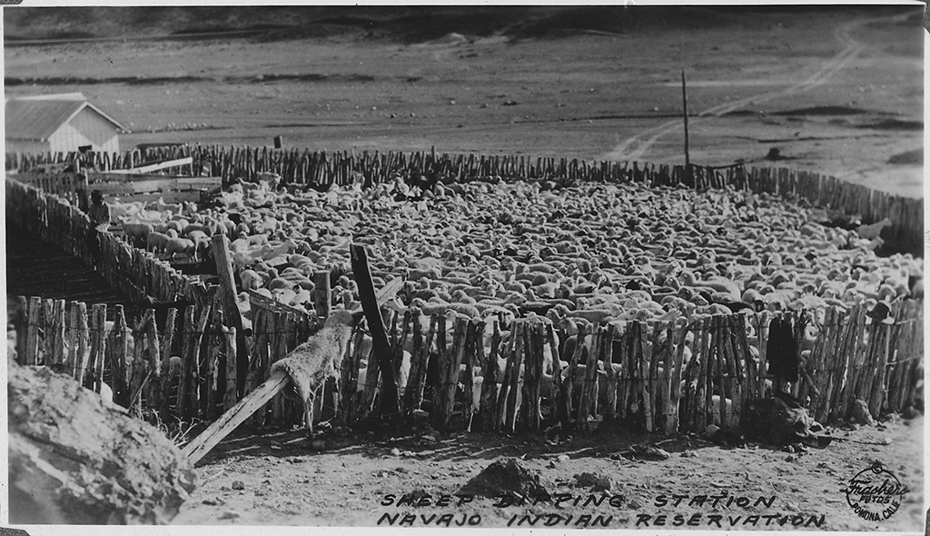 Navajo sheep herds that were raised for the production of wool used in Diné weaving
