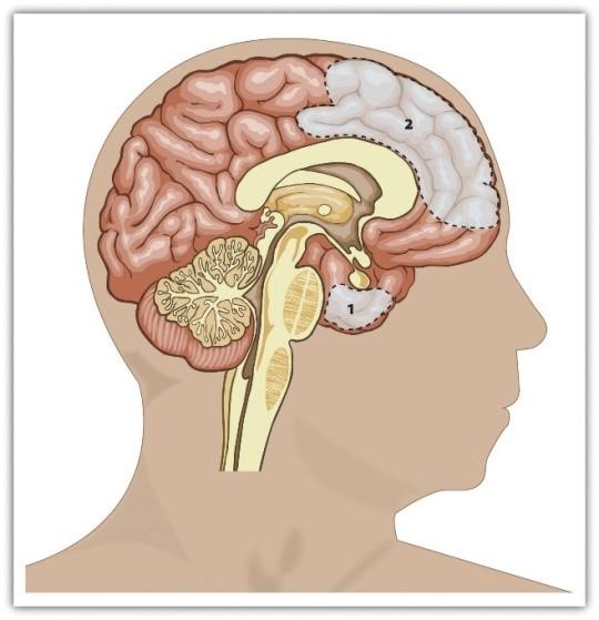 Amygdala and the prefrontal cortex